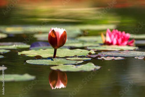 Carta da parati Pink lotus water lily flower and green leaves in pond