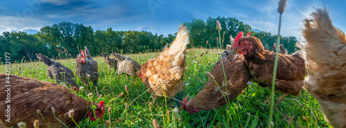 Foto brown and grey hen in the garden