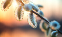 Pussy Willow With Open Fluffy Yellow Buds Over Sunset Spring Nature Background. Blooming Spring Willow Flowers Backdrop, Close-up. Easter Art Design.