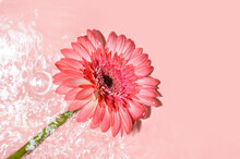 Pink Gerbera Or Barberton Daisy Flower On Water Surface With Ripples And Sunlight Reflections. Beauty Spa, Relaxation Or Wellness Treatment. Youth, Freshness Or Tenderness Concept. Summer Background