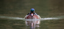 A Wood Duck In Autumn
