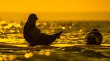 Fototapeta Fototapety z morzem do Twojej sypialni - Foka nad Morzem Bałtyckim