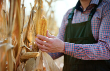 The Crop Is Good This Year. Farmer Picking Corn In The Field, Close Up Photo. Agricultural Concept