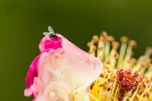 Tiny Fly Sits On The Outer Edge Of A Rose Blossom With Beautifully Lit Wings
