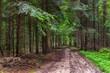 Widok na las zazieleniony wiosną. Drzewa iglaste i liściaste, ścieżki i przecinki, wycięte drzewo