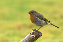 European Robin, Erithacus Rubecula, Or Robin Redbreast, Perched On A Cut Branch With A Green Background. Selective Focus On The Forground.