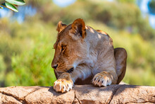 Lioness At The Werribee Open Range Zoo Melbourne