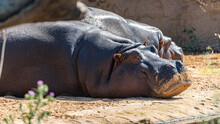 Hippo At The Werribee Open Range Zoo Melbourne
