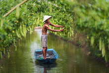 Vietnamese Old Man Farmer Keeping The Yield By Standing Over The Tradition Boat On The Lake In Gourd Garden In Vietnam Style, An Phu, An Giang Province, Vietnam, Vegetable Garden And Farm Concept