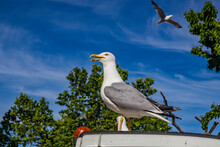 Rome, Lazio, Italy - An Aggressive Seagull Resting On The Hood Of The Garbage Truck. Another Seagull Flies In The Blue Sky.