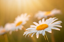 Daisy Flowers Under The Warm Yellow Sun Rays On The Meadow In The Evening. Summer Field In Blossom, Close Up, Copy Space.