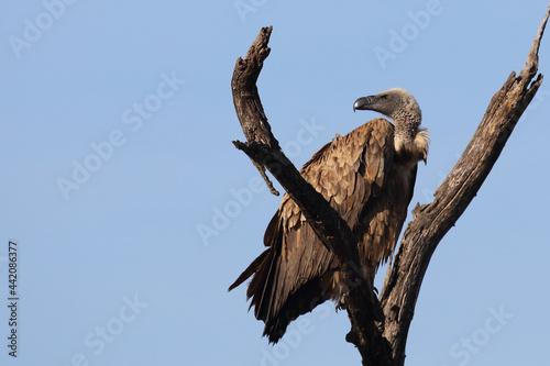 Canvas Print Weißrückengeier / White-backed vulture / Gyps africanus