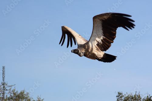 Photo Weißrückengeier / White-backed vulture / Gyps africanus.