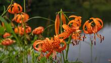 池の縁に咲くコオニユリ(Lilium Leichtlinii)の群落/長野県八千穂高原