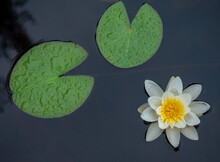 White Water Lily With Large White Flowers And Green Leaves On The Surface Of A Lake In The Republic Of Karelia, Northwestern Russia