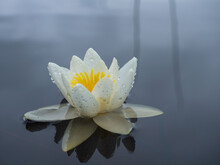 White Water Lily With Large White Flower And Green Leaves On The Surface Of A Lake In The Republic Of Karelia, Northwestern Russia