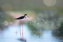 Black-winged Stilt Bird On The Lake