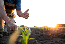 Unrecognizable Field Worker Or Farmer Holding Thumbs Up In Corn Field.