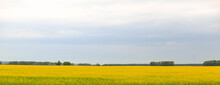 Bright Yellow Blooming Rapeseed Field On A Sunny Day