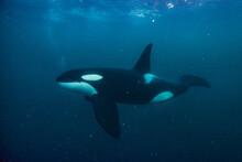 Orca In The Arctic Ocean