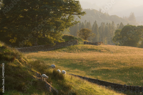 Fototapeta View across the Lake District Fells at Skelwith with sheep sheltering under a tree