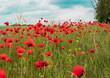 Pole z makami, piękny widok, krajobraz, czerwone maki, łąka, błękitne niebo, lato,  łąka kwiatowy, kwiaty polne