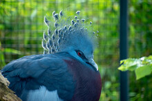 Closeup Shot Of A Blue Victoria Crowned Pigeon