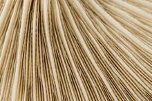 Closeup Of White Mushroom Gills