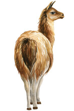 Llama Watercolor Illustration. African Animals White Background.