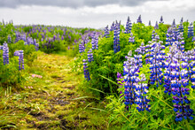 Colorful Blue And Purple Colorful Vibrant Lupine Wild Flowers In Iceland With Bokeh Blurred Background On Dyralaekjasker Trail And Moss On Cloudy Day