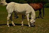 Fototapeta Zwierzęta - Biały koń