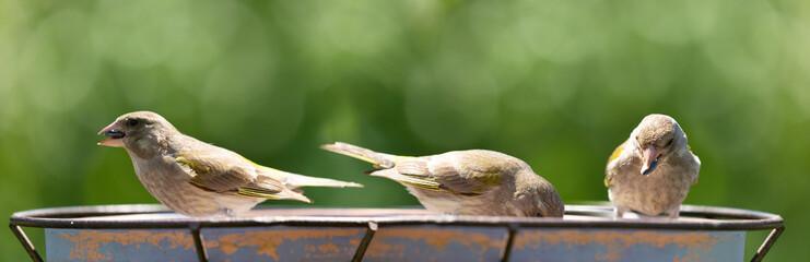 Little songbirds sitting on a bird feeder. The european greenfinch (Chloris chloris)