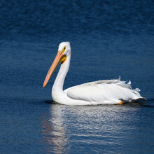 White Pelican Swimming In The Water