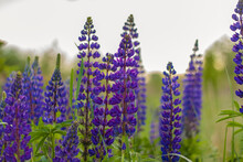 Purple Wild Lupin Lupinus Polyphyllus Blooms In A Meadow. A Field With Wild Purple Flowers.