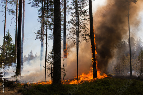 Fototapeta Burning trees and thick clouds of smoke