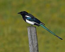 Black-billed Magpie On Fencepost - Saskatchewan, Canada