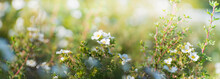 Beautiful Panoramic Scenery With White Flowers And Bokeh Background