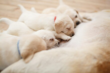 Healthy Labrador Puppies Suck Milk Bitch Close Up With Copy Space For Text. Cute Golden Retriever Puppies Sucking Breast With Milk From His Mom. Labrador Puppies One Month Old With Their Mother