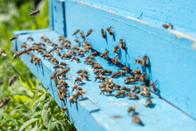Bees Carrying Pollen Crowding In Front Of The Hive Entrance, Selective Focus