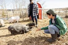 Boy Feeding Pigs In Pen On Sunny Farm