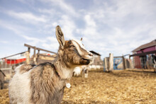 Cute Brown And White Goat On Farm