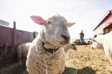 Close Up Portrait Cute White Sheep In Sunny Pen On Farm