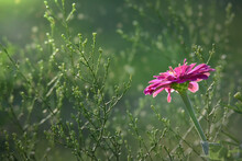 Purple Zinnia Flower Facing Sunshine, Close Up Green Plants