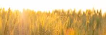 Wheat Field In The Rays Morning Sun, Spikelets In Orange Warm Light Dawn
