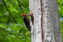 Pileated Woodpecker Bird