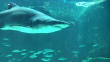 Shark Ragged Tooth Or Sand Tiger Shark Swimming In A Tank