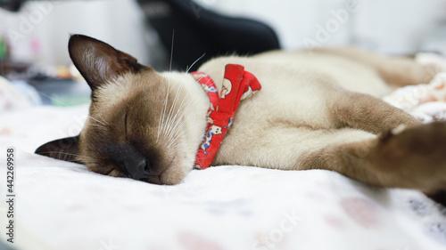 Fotografie, Obraz Brown beige cat. Siamese cat resting