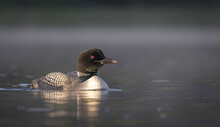 Common Loon On A Lake In Maine