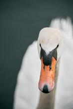 Mute Swan Swimming In The Lake. Birdwatching In Europe. Water Water Bird On A Lake