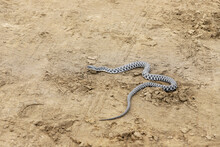 The Snake Is Crawling Along The Yellow Sand.